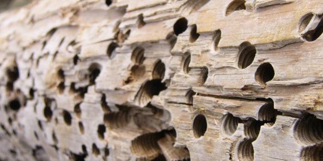 travi di legno divorate da insetto