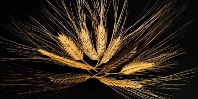 genoma frumento