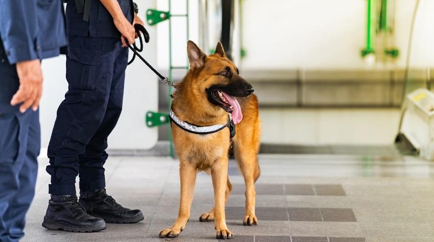 I cani già da molto tempo affiancano l'uomo sul lavoro grazie al loro olfatto.