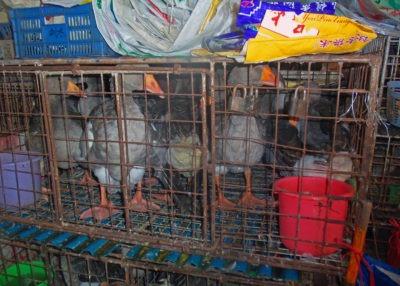 Delle papere in una gabbia