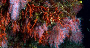 Decreto corallo rosso