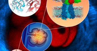 anticorpo monoclonale come funziona