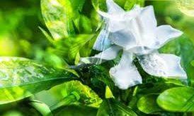 Ricerca piante gardenia
