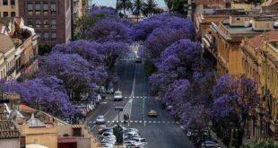 Taglio pini e Jaracanda a Cagliari, la città si divide
