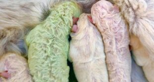 pistacchio cane