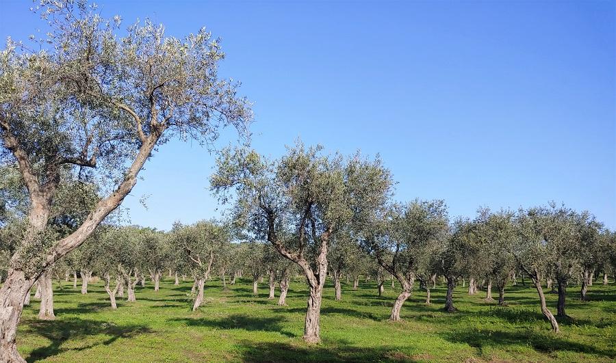 L'olio San Giuliano brinda con due bicchieri d'oro