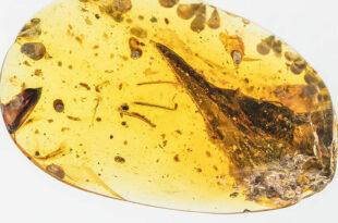 fossile lucertola