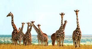 Una grande famiglia: la socialità delle giraffe