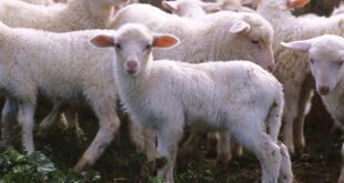 etichette false agnello Sardegna