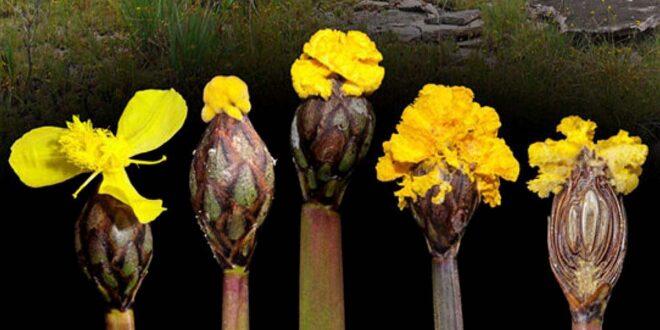 Fungo-truffa Fusarium xyrophilum