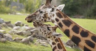 L'estinzione silenziosa delle giraffe