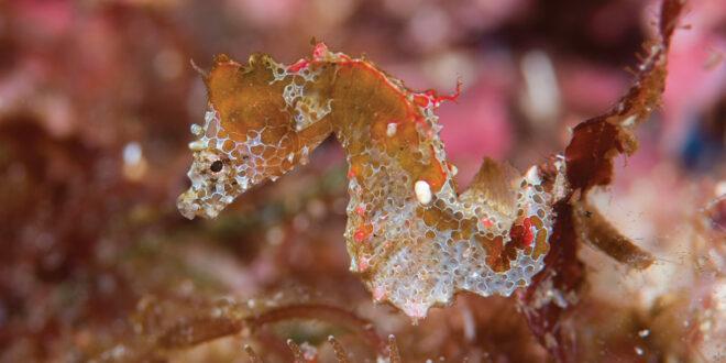 Il cavalluccio marino Pigmeo