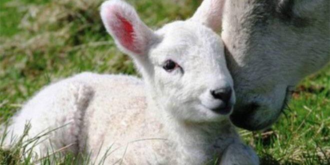 Coldiretti: per l'agnello igp serve un'azione di filiera