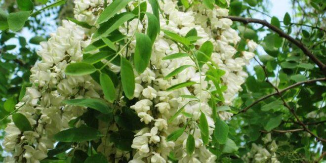 Acacia, il fiore che fa bene mangiare