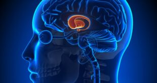 Che ruolo ha l'amigdala?