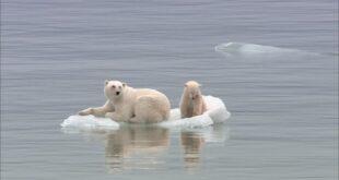Gli animali artici cambiano le loro abitudini per colpa del surriscaldamento: a rischio migliaia di cuccioli