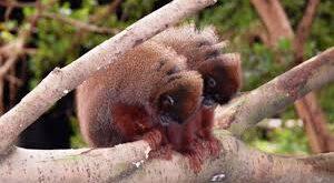 Scimmie titi del Perù tra gli animali più fedeli