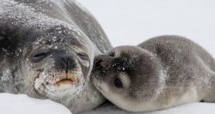 Le foche della Groellandia