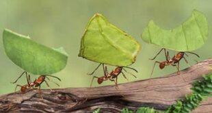 le formiche tagliafoglie