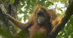 Un nuovo primate: l'orango di Tapanuli