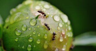 Le formiche coltivano funghi