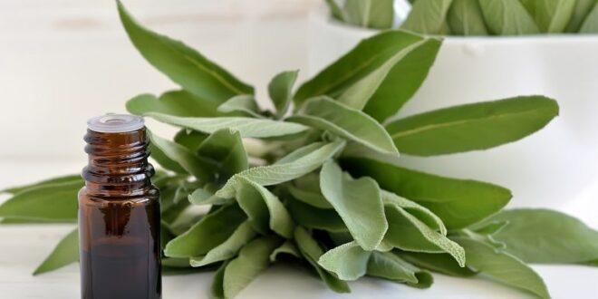 Salvia, regina delle piante aromatiche