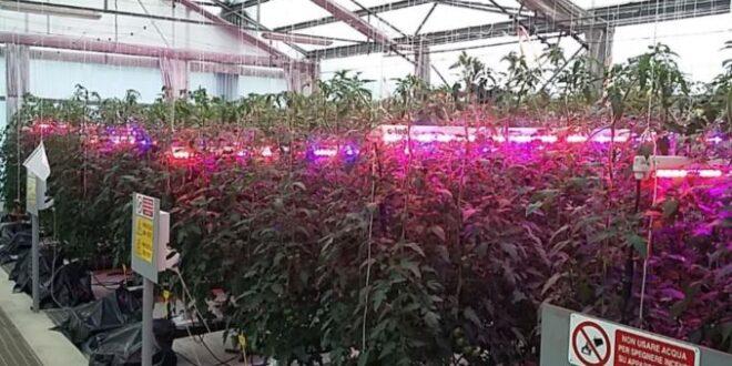 LED rossi ottimi per piante di pomodoro