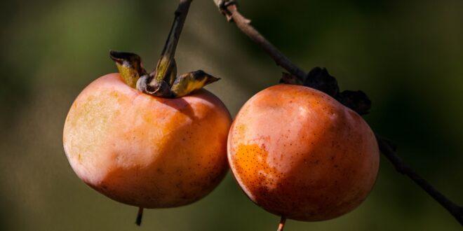 Novembre con i cachi: frutto principe dell'autunno