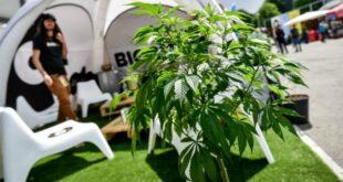 """L'Onu: """"Via la cannabis dalla lista delle sostanze dannose"""""""