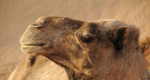 Plastica trovata negli stomaci dei cammelli arabi