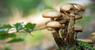 scoperti funghi parassiti