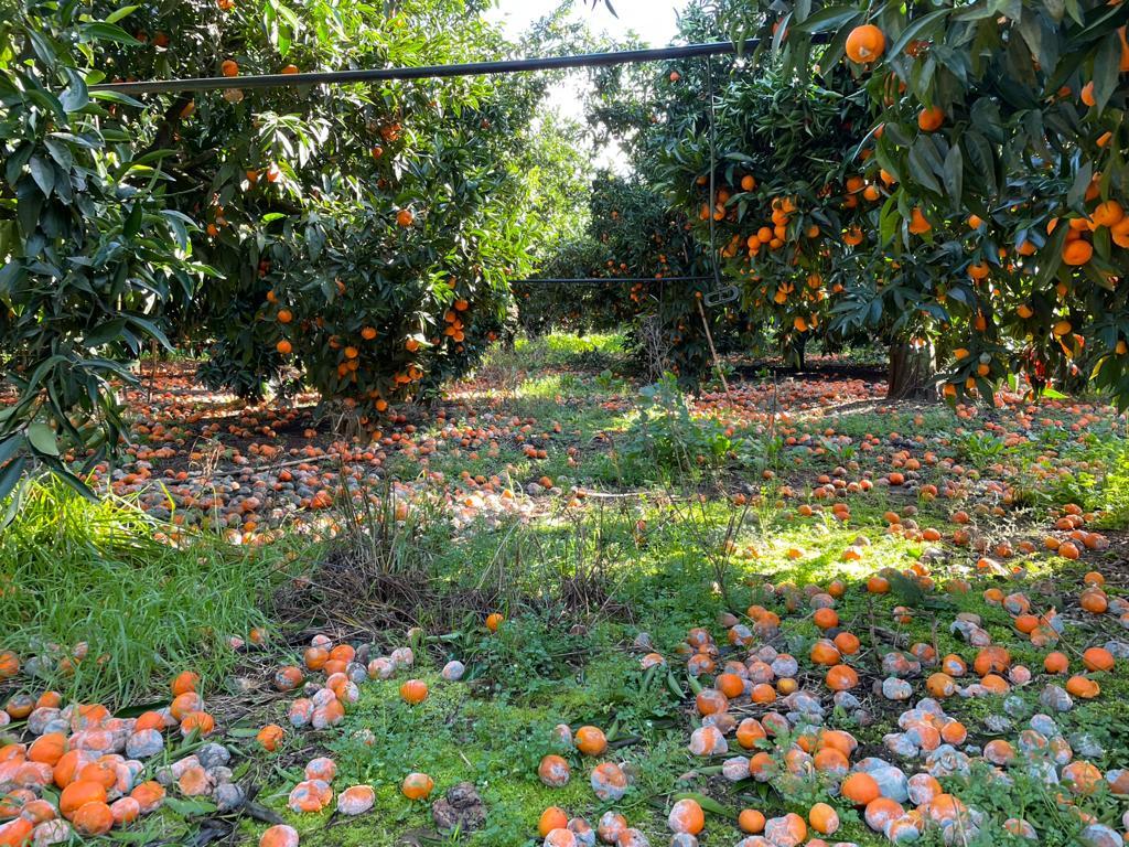 pianta di clementine