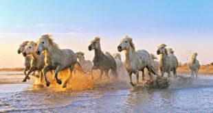 cavalli 1