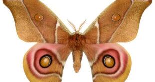 mimetismo ascustico nei lepidotteri