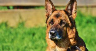 cane da guardia