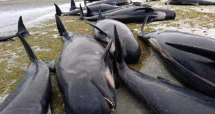 balene spiaggiate strage nuova zelanda