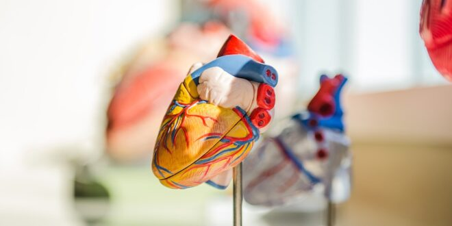 cellule cardiache