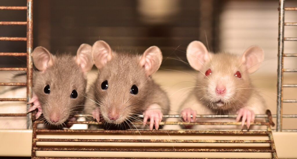 mieloma multiplo ratti laboratorio