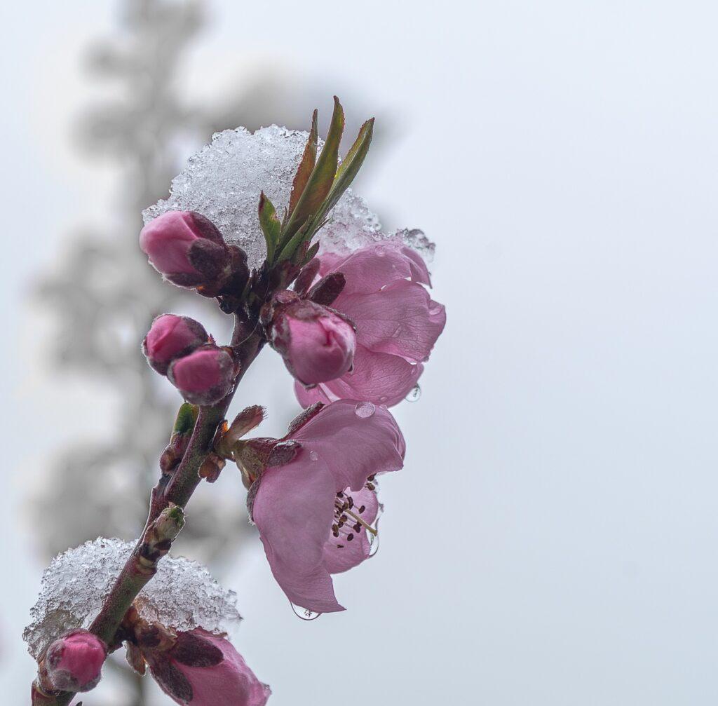 piante in fiore pesco neve