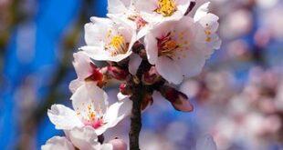 almond tree 6076547 340