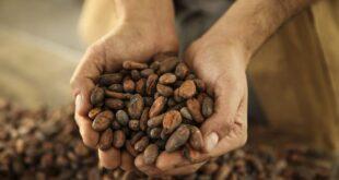 ferrero cacao filiera