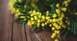 mimose 1 700x395 1