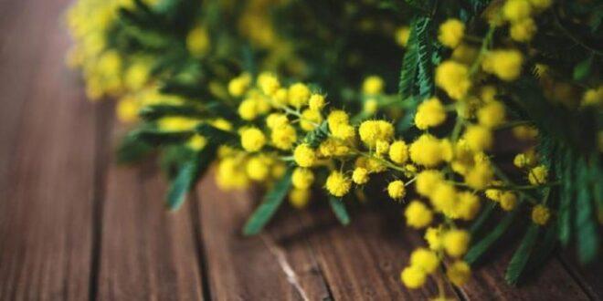mimose 1 700x395 1