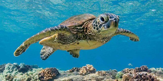 tartarughe fauna marina caretta caretta