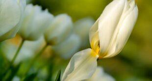 tulip 6206619 1920