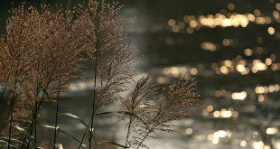 silver grass 2354132 1920