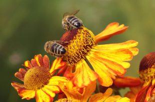 honey bees 6574243 1920